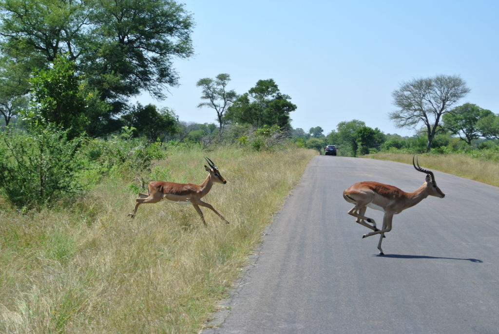 Impala crossing the road