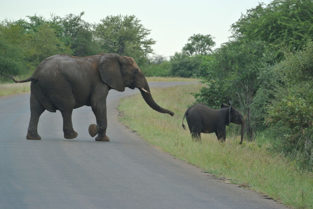 Baby elephant with babysitter crossing the road