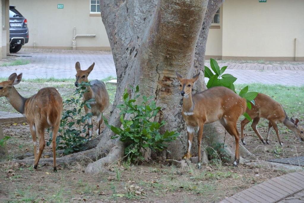 Tame bushbucks in the Letaba camp